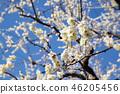 梅花樹(冬至)小石川後樂園美化 46205456