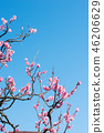 Plum blossom 46206629