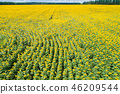 Beautiful sunflower field, aerial view 46209544