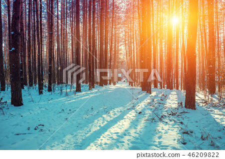 Pine snowy forest in winter at sunset 46209822