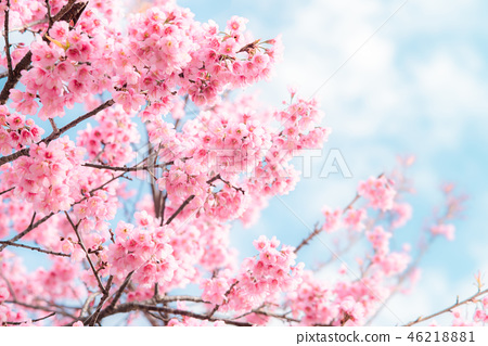 Beauty in nature of pink spring cherry blossom 46218881