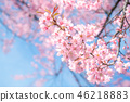 Beauty in nature of pink spring cherry blossom  46218883