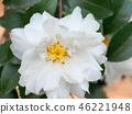 ดอกไม้,ดอกไม้ฤดูหนาว,กลีบ 46221948