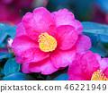 ดอกไม้,ดอกไม้ฤดูหนาว,กลีบ 46221949