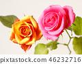 กุหลาบ,ดอกไม้,พื้นหลังสีขาว 46232716
