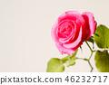 กุหลาบ,ดอกไม้,พื้นหลังสีขาว 46232717