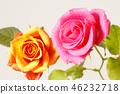 กุหลาบ,ดอกไม้,พื้นหลังสีขาว 46232718