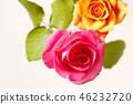 กุหลาบ,ดอกไม้,พื้นหลังสีขาว 46232720