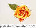 กุหลาบ,ดอกไม้,พื้นหลังสีขาว 46232721