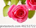 กุหลาบ,ดอกไม้,พื้นหลังสีขาว 46232722