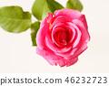 กุหลาบ,ดอกไม้,พื้นหลังสีขาว 46232723