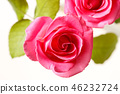 กุหลาบ,ดอกไม้,พื้นหลังสีขาว 46232724