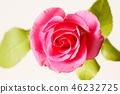 핑크 장미, 분홍 장미, 장미꽃 46232725