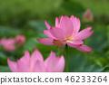 莲花 花朵 花卉 46233264
