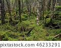 原始森林 维奇的冷杉 云杉 46233291