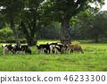 大农场 牧场 荷斯坦种奶牛 46233300
