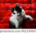 Kitten on a red buckwheat cushion 46239469