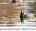 นก,ประเทศญี่ปุ่น,น้ำ 46241204