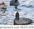นก,ประเทศญี่ปุ่น,น้ำ 46241208