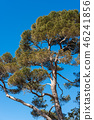 Maritime Pine Tree on clear Blue Sky 46241856
