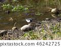 禽 野生鸟类 野鸟 46242725