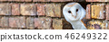owl barn looking 46249322