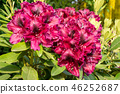 Rhododendron Hybrid Midnight Beauty, Rhododendron  46252687