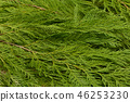 Christmas holiday cedar tree greens background 46253230