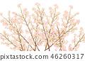 ดอกซากุระบาน,ซากุระบาน,ฤดูใบไม้ผลิ 46260317