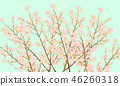 ดอกซากุระบาน,ซากุระบาน,ฤดูใบไม้ผลิ 46260318
