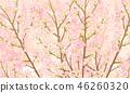 ดอกซากุระบาน,ซากุระบาน,ฤดูใบไม้ผลิ 46260320