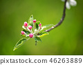 Spring blossom: branch of a blossoming apple tree 46263889