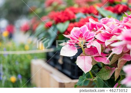 花園中紅一條緋紅色,誕生緋紅,誕生花。 46273052