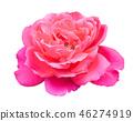 กุหลาบ,ดอกกุหลาบ,สีชมพู 46274919