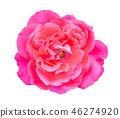กุหลาบ,ดอกกุหลาบ,สีชมพู 46274920