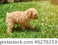 Brown puppy walk on green grass 46276259