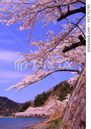 Kaizu Osaki (Shiga Prefecture Takashima City) Cherry blossoms in full bloom 46276290