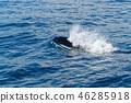 호흡을 위해 부상하는 범고래 라우스 46285918