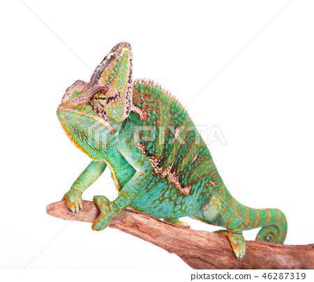 Veiled chameleon (chamaeleo calyptratus) close-up. 46287319