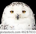 portrait of a beautiful snow owl 46287633