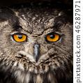 Face portrait of Eagle Owl, Bubo bubo. 46287971