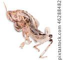 Desert locust on white background 46288482