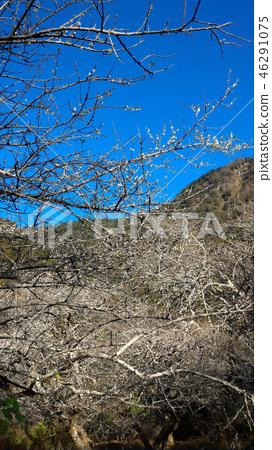下雨的時候,峨眉山開了梅花。 46291075
