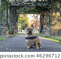 Young French Bulldog in front of stone gateways 46296712