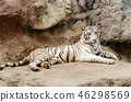 White Bengal Tiger resting on rock 46298569