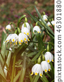 Wonderful spring white flowers are snowdrops with  46301880