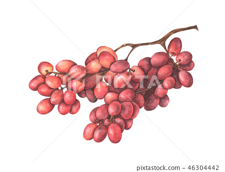 Bunch of red grapes. watercolor illustration. 46304442