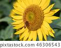 Sunflower Funabashi City, Chiba Prefecture 46306543