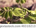 Female mantis close up on background of green leav 46310213