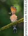 Hoopoe, upupa epops, sitting on a moss covered twig with open crest and catch in the beak. 46316512